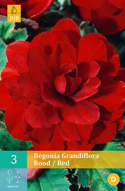 jub begonias grandiflora rood 5/6 (3sts)