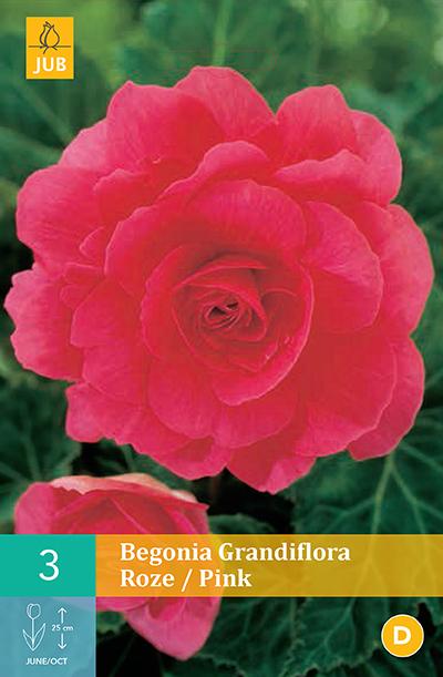 jub begonias grandiflora roze 5/6 (3sts)