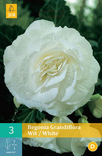 jub begonias grandiflora wit 5/6 (3sts)