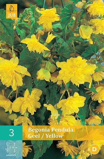 jub begonias pendula geel 4/5 (3sts)