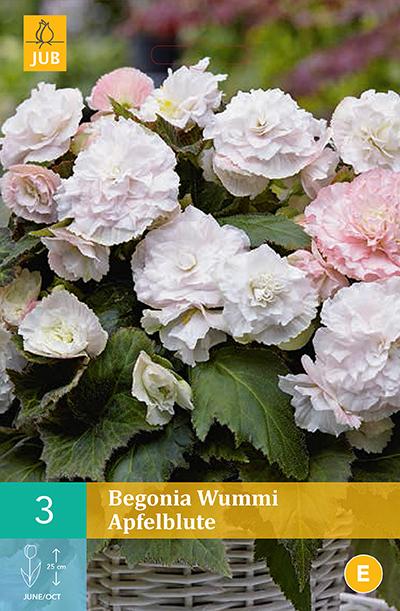 jub begonias wummi apfelblute 4/5 (3sts)