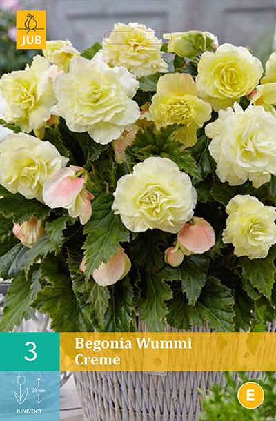 jub begonias wummi creme 4/5 (3sts)