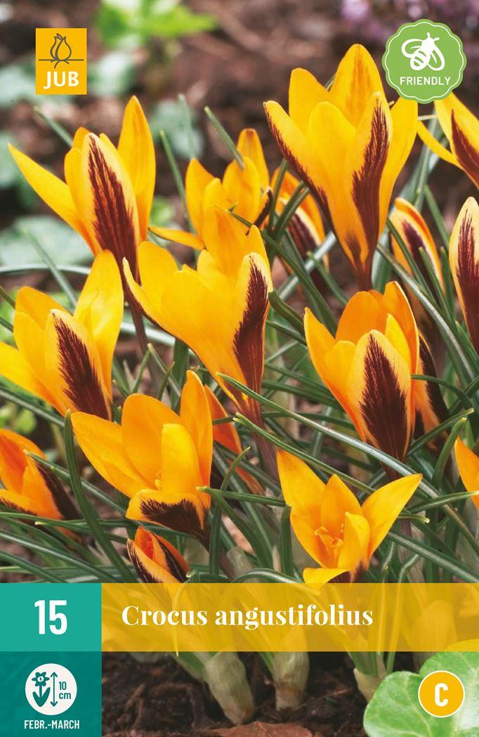 jub crocus angustifolius (15sts)