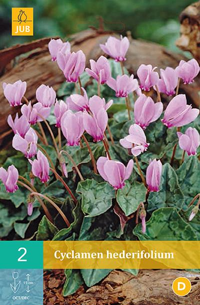 jub cyclamen hederifolium vj 13/15 (2sts)