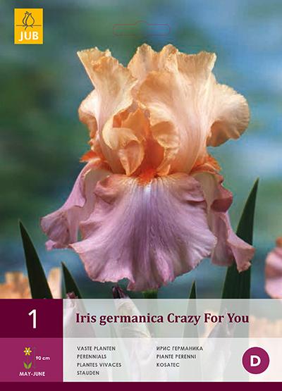 jub iris germanica crazy for you i