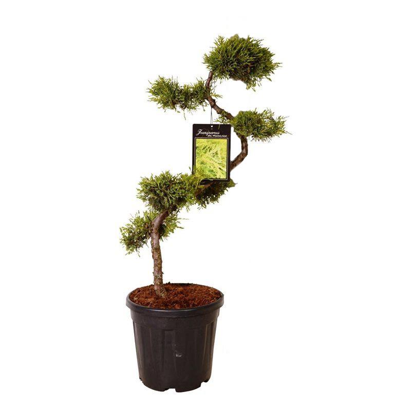 juniperus pf. 'pfitzeriana aurea'