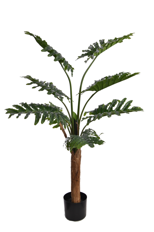 large selloum philo plant with 8 leaves in pot green