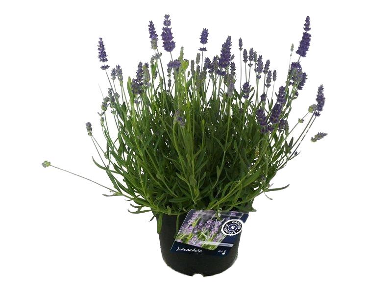 lavandula angustifolia 'blue scent'
