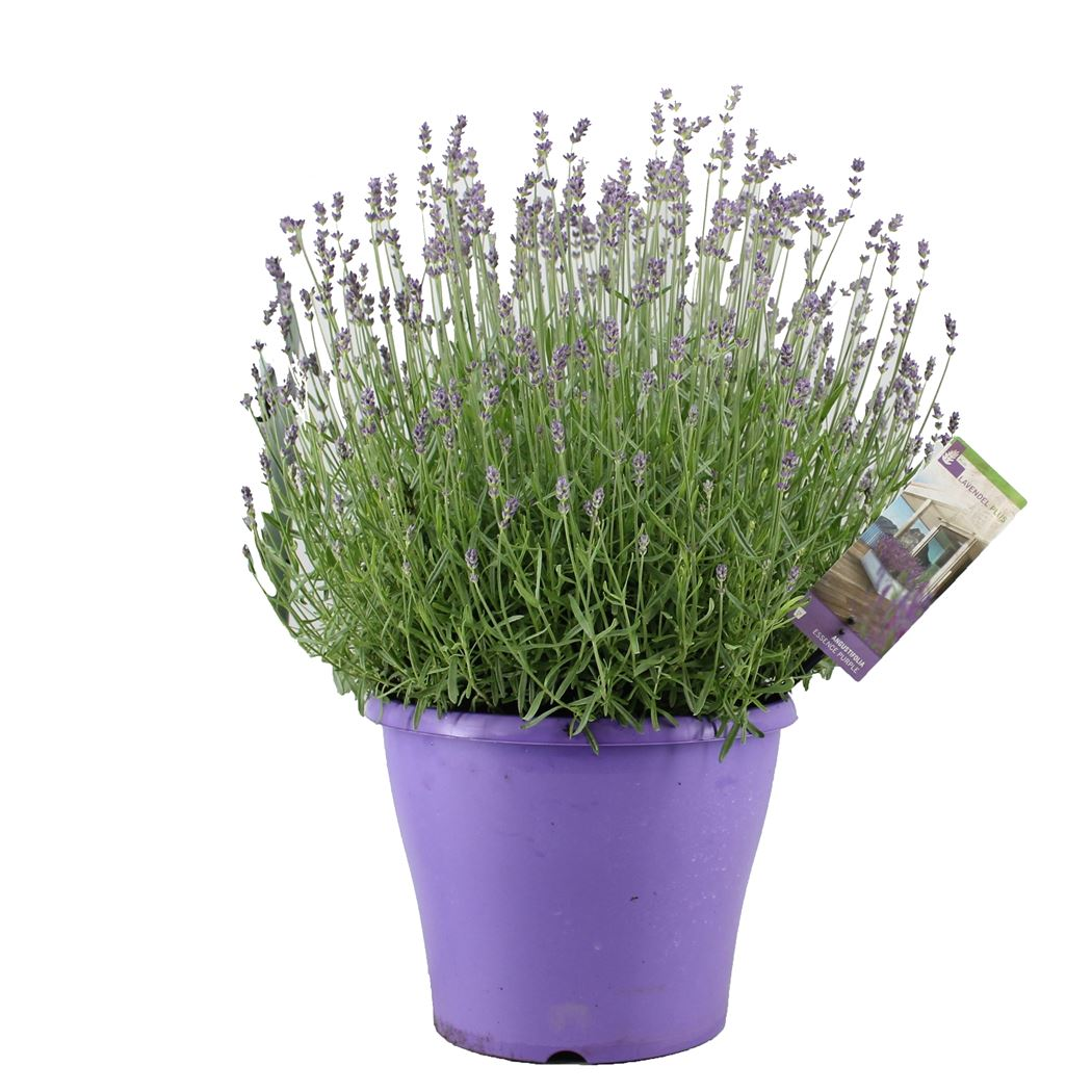 lavandula angustifolia 'essence purple'
