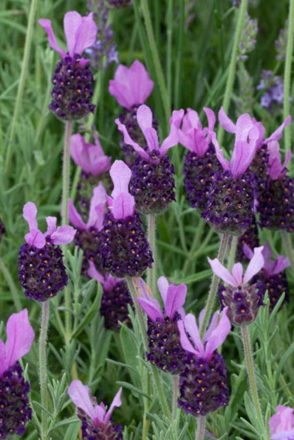 lavandula stoechas 'anouk dark purple'