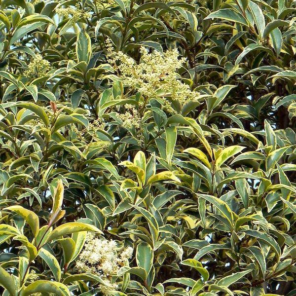 ligustrum japonicum 'excelsum'