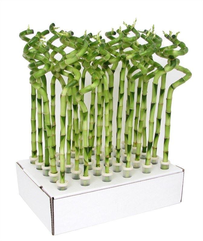 dracaena 'lucky bamboo' krul