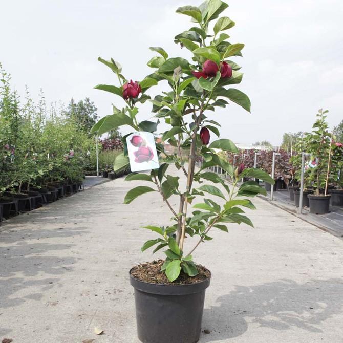 magnolia 'genie'®