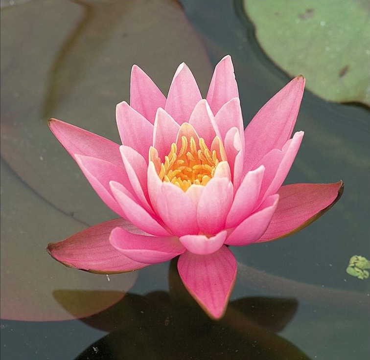 nymphaea roze in mand