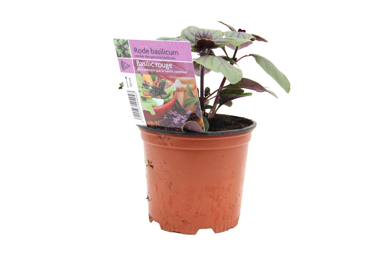 ocimum basilicum 'rosie' (basilicum roodbladig)