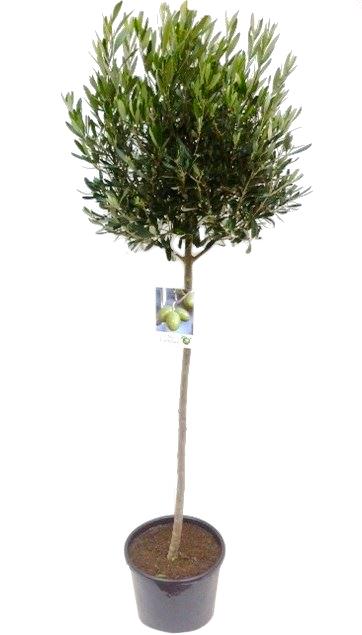 olea europaea op stam (olijfboom)