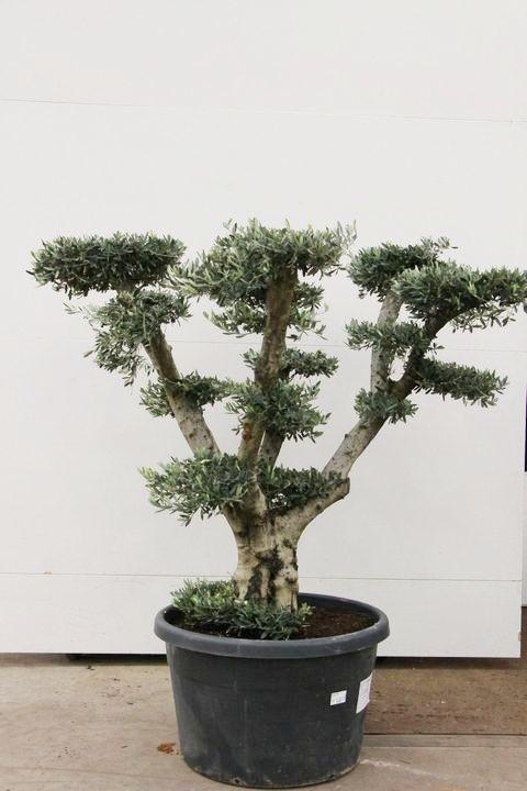 olea europaea pon pon (olijfboom)