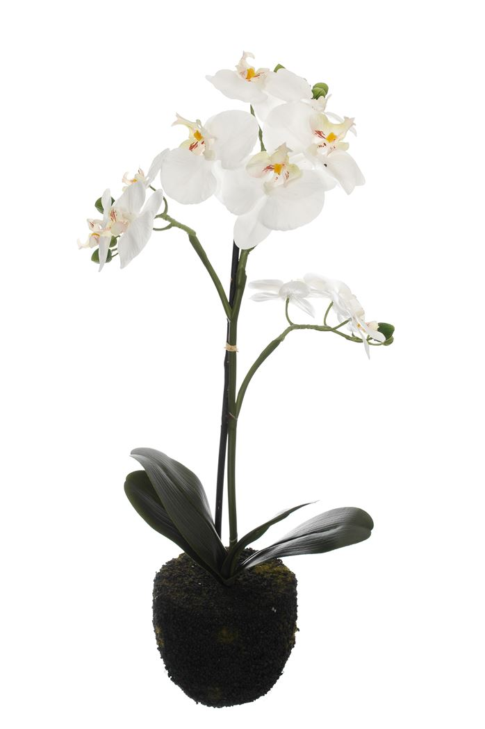 orchid x 3 on soil base cream