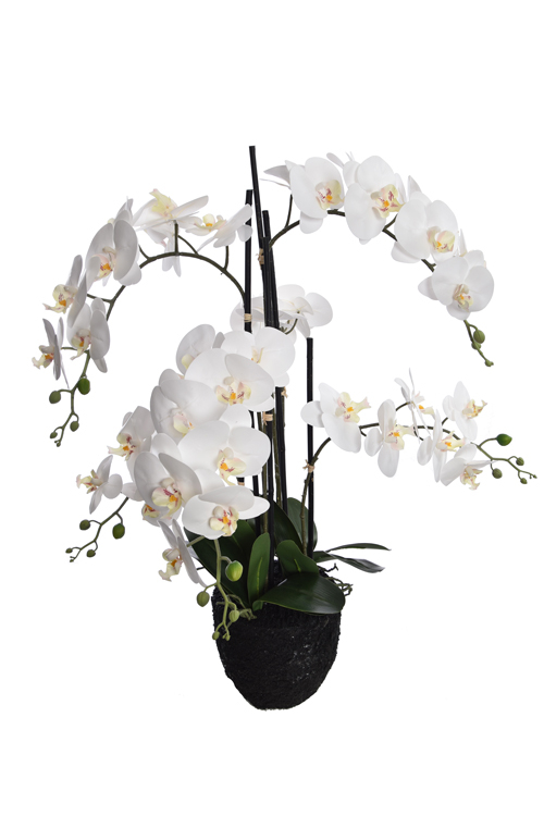 orchid x 6 on soil base cream