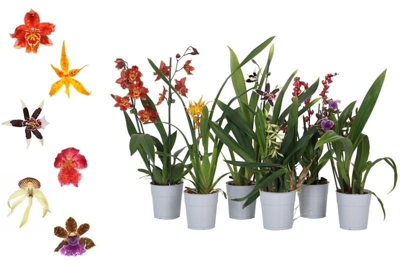 orchidee gemengd