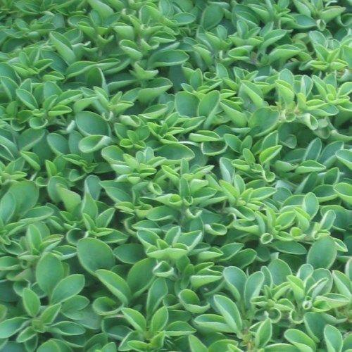 origanum vulgare 'compactum' (compacte oregano)