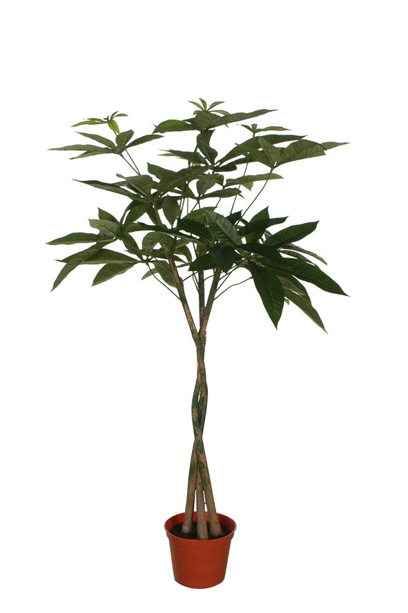 pachira window tree w/128 lvs w/pot green