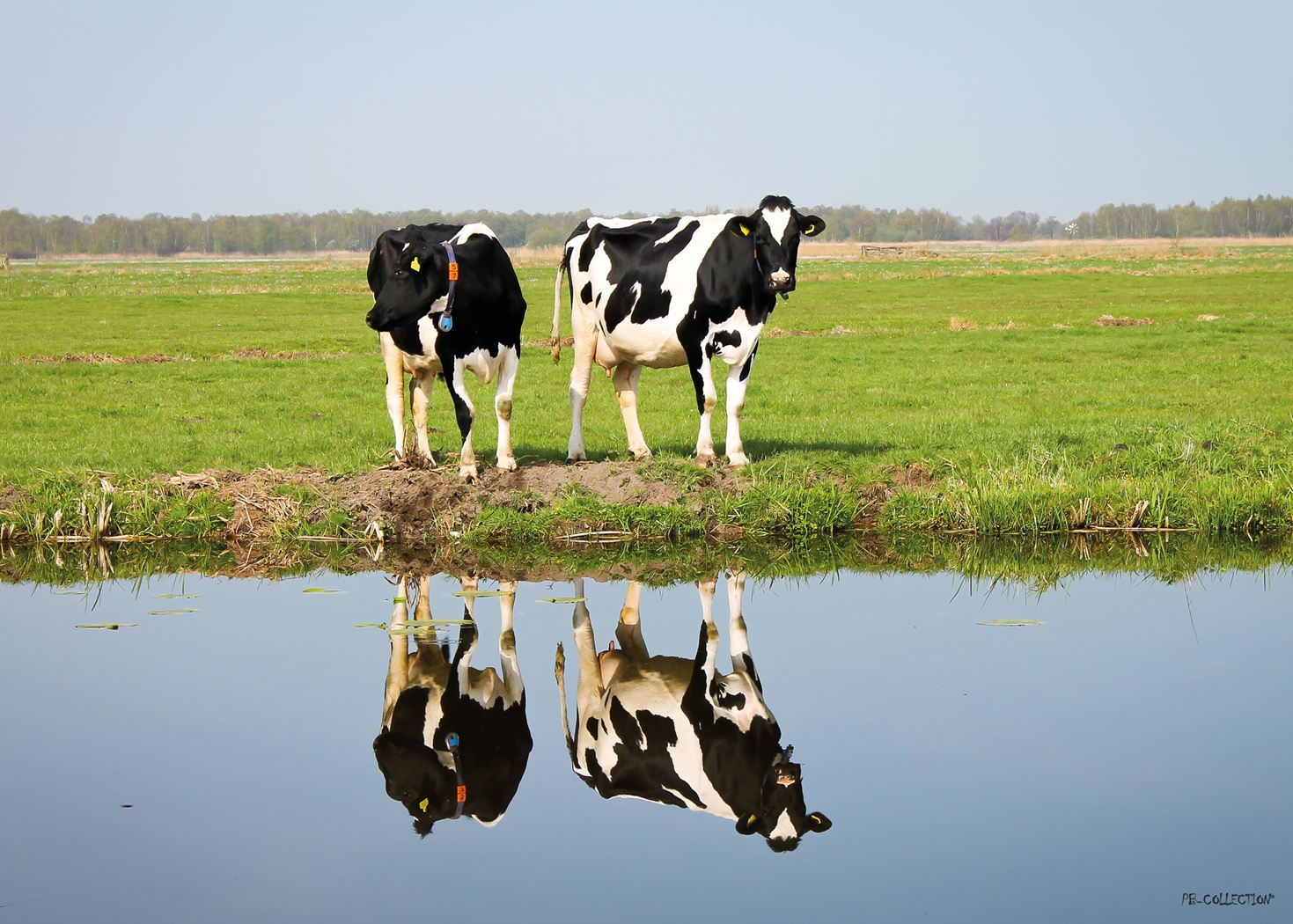 pb-collection tuinschilderij cows with reflection