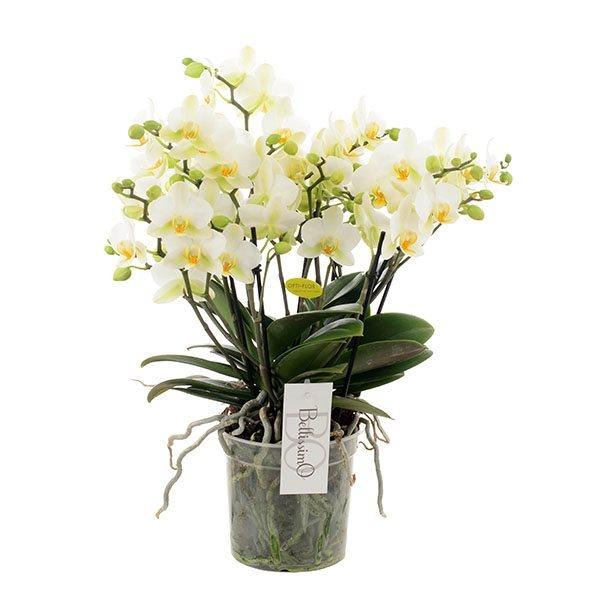 phalaenopsis 'bellissimo white'