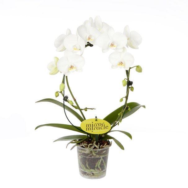 phalaenopsis boog