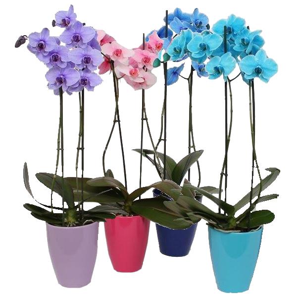 phalaenopsis gekleurd
