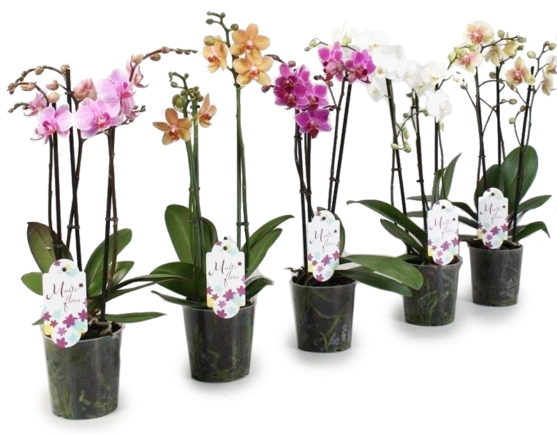 phalaenopsis gemengd 4 tot 5 bloemstelen