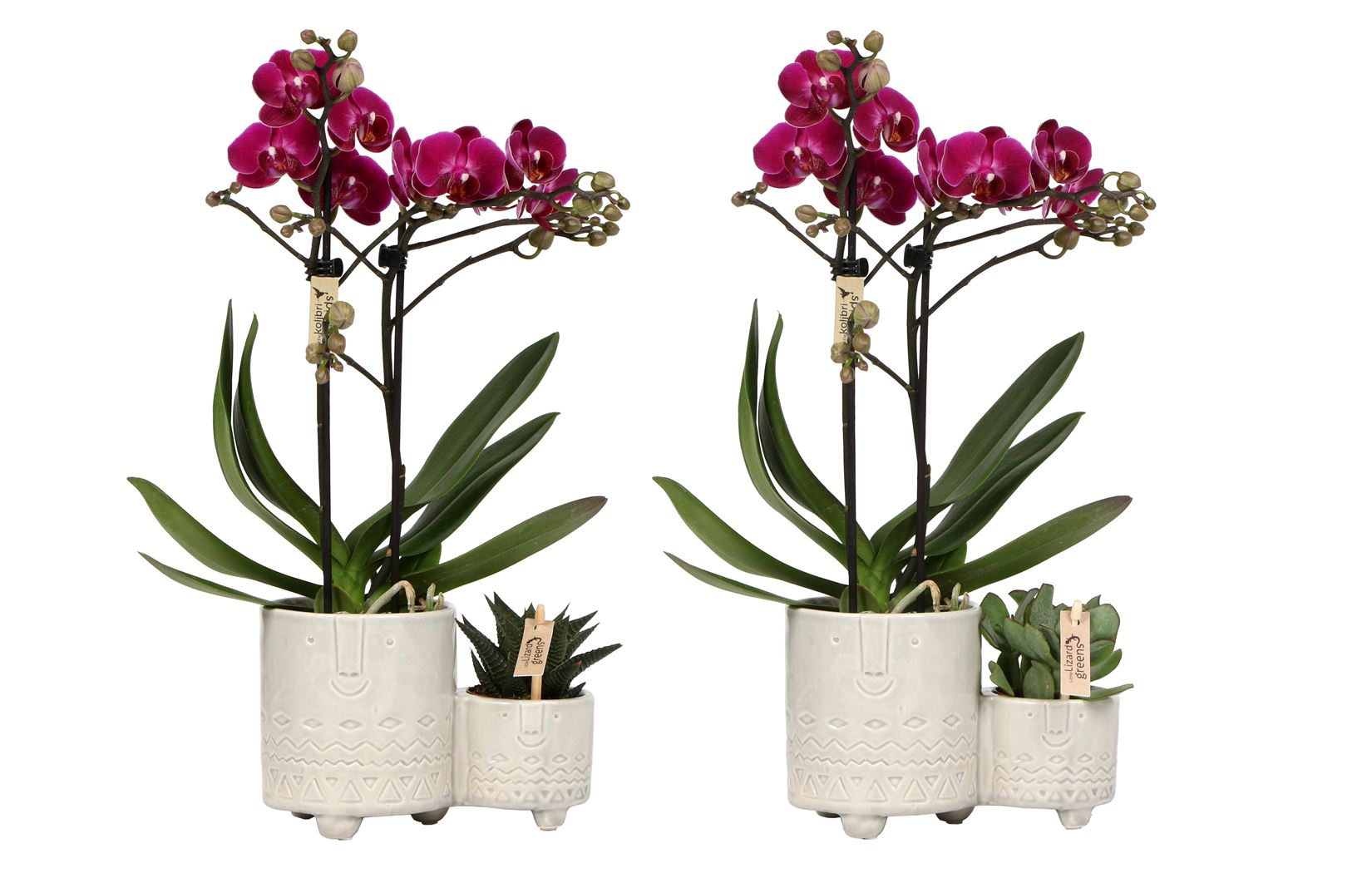 phalaenopsis little kolibri 2 spike with succulent family twins white