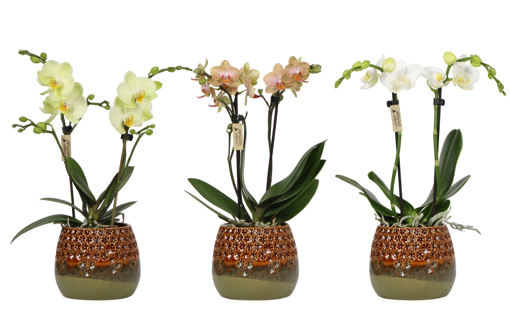 phalaenopsis little kolibri orchids 2 spike in amazon pot