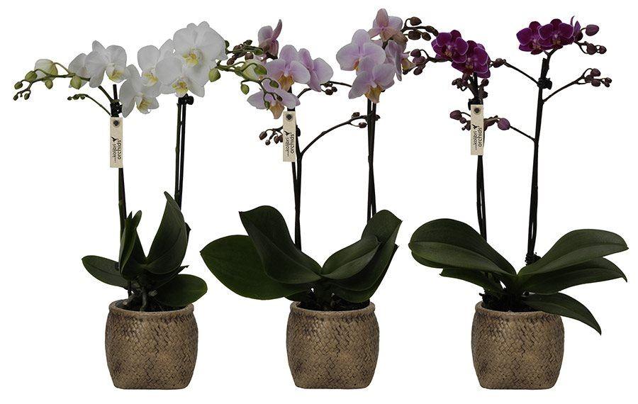 phalaenopsis little kolibri orchids 2 spike in canvas bag
