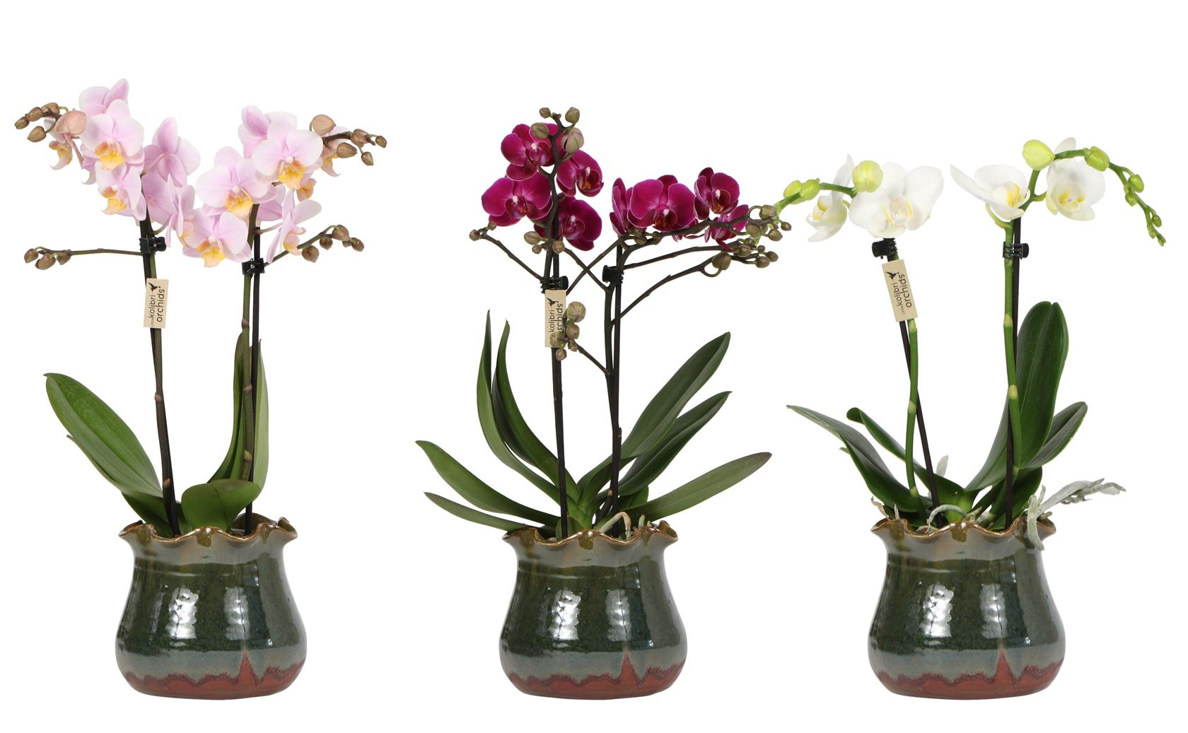 phalaenopsis little kolibri orchids 2 spike in colordip wave green