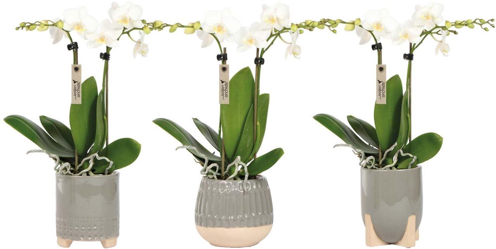 phalaenopsis little kolibri orchids 2 spike in desert pot grey