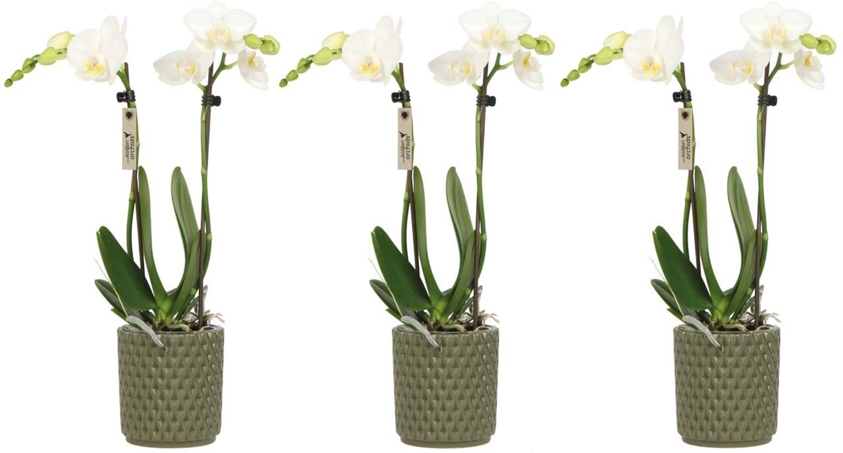 phalaenopsis little kolibri orchids 2 spike in diamond pot green