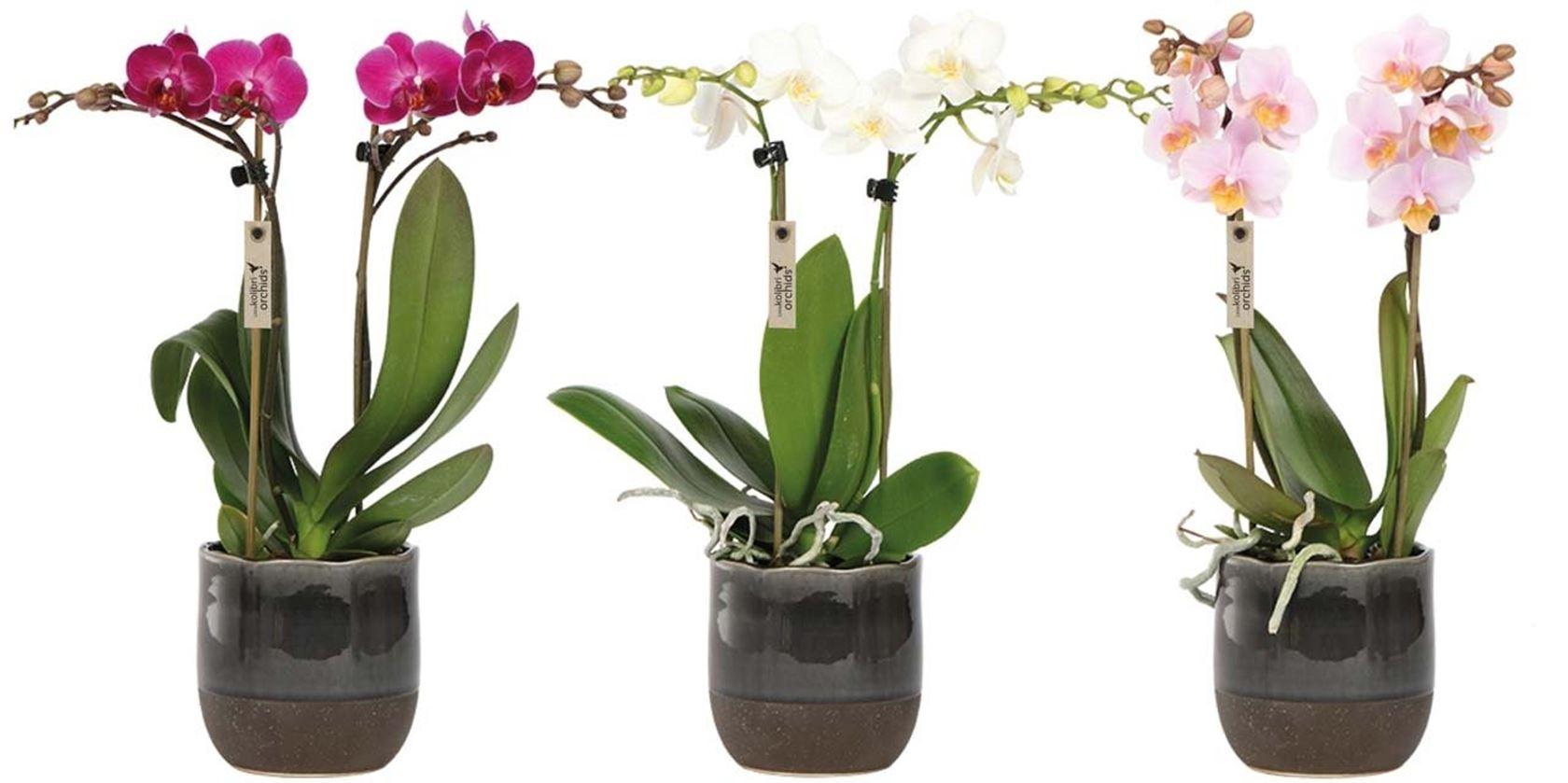 phalaenopsis little kolibri orchids 2 spike in urban pot