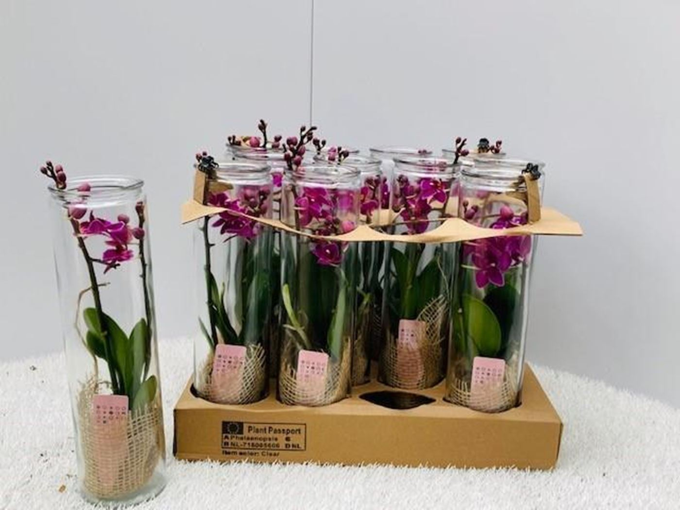 phalaenopsis mini in glas