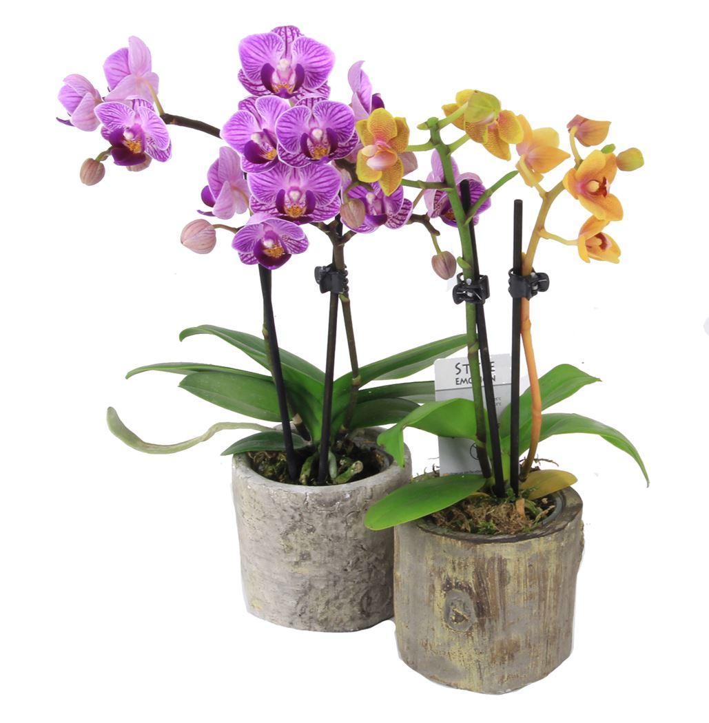 phalaenopsis mini in stenen potje