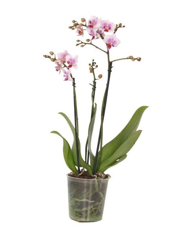 phalaenopsis multiflora 2 tot 3 bloemstelen