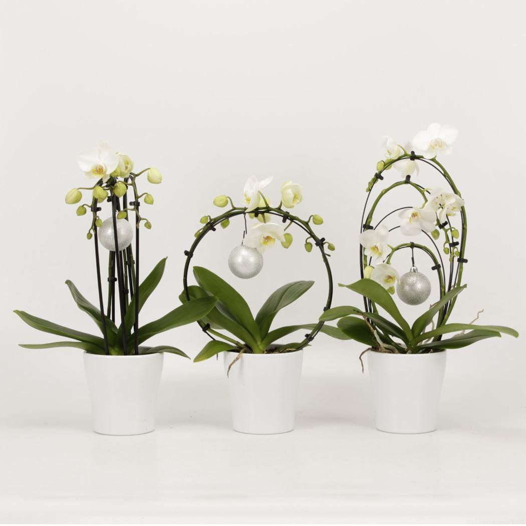 phalaenopsis shapes kerst in wit keramiek