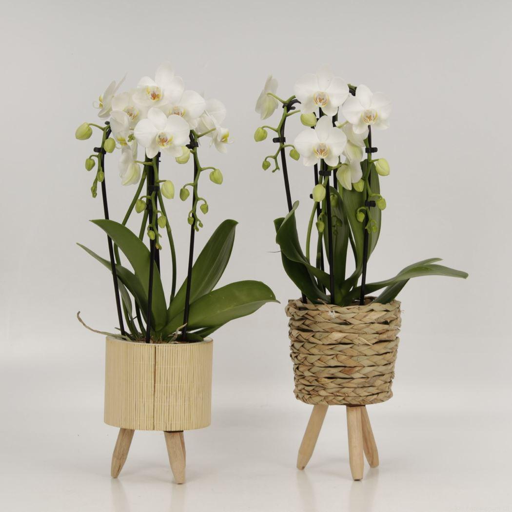 phalaenopsis triboga wit in yara/sara pot
