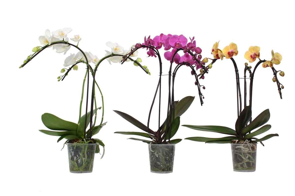 phalaenopsis parasol