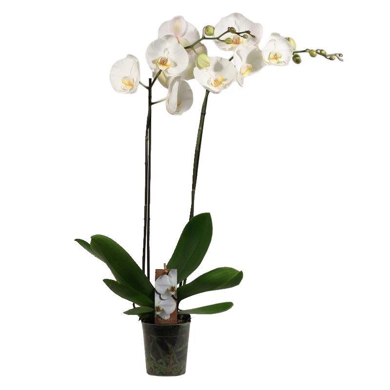 phalaenopsis wit 2 tot 3 bloemstelen