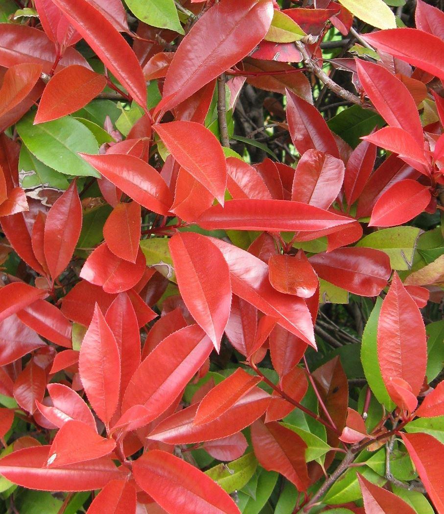 photinia fraseri 'red robin' voorgeleid 150 x 120cm