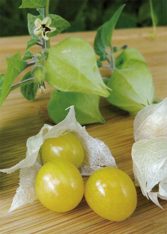 physalis pruinosa preciosa (kleine ananaskers)