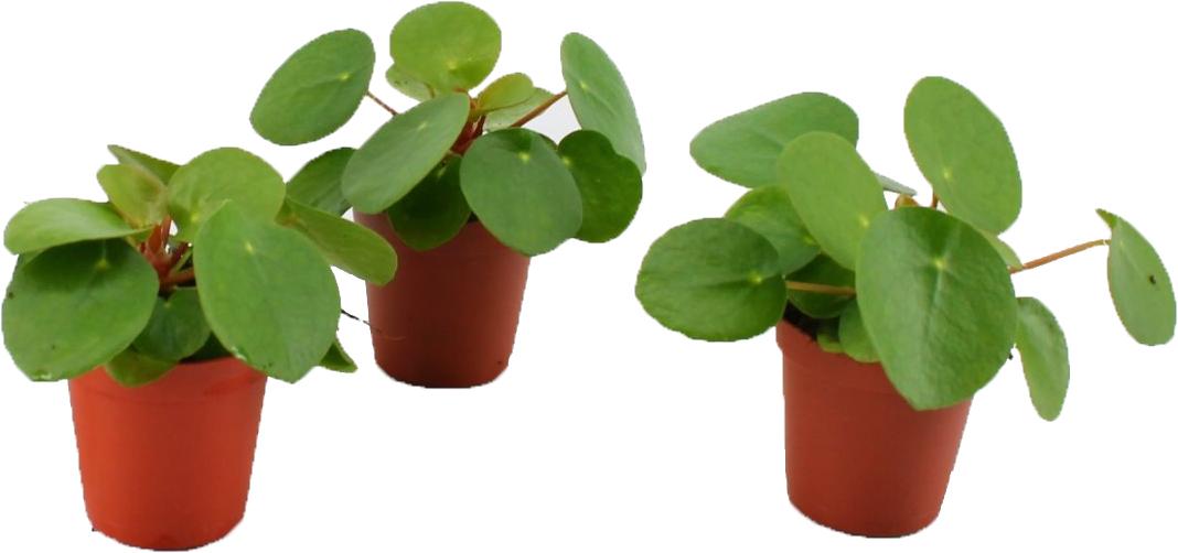 bambino pilea peperomioides (pannenkoekplant)