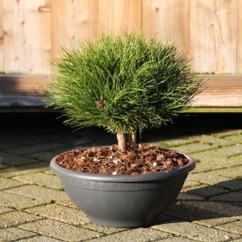 pinus nigra 'marie bregeon'®