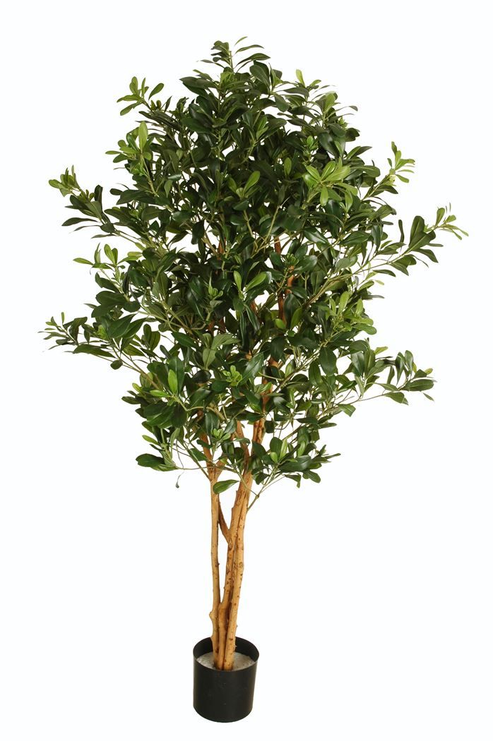 pittosporum multi tree with 2088 leaves with pot